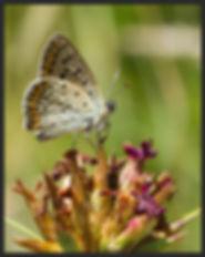 Lycaena-tityrus-sooty-copper   PTKbutterflies