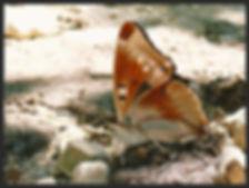 Apatura-iris-purple-emperor form lugenda | PTKbutterflies