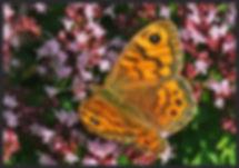 Lasiommata-megera-the-wall-brown-   PTKbutterflies