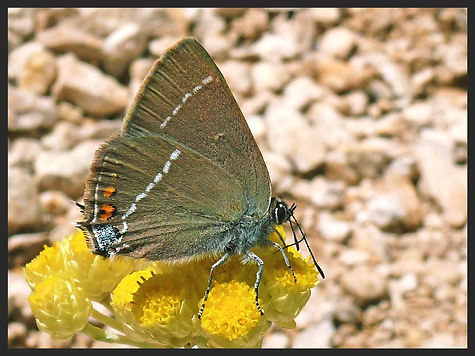Satyrium-spini-blue-spot-hairstreak | PTKbutterflies