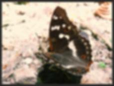 Apatura-ilia-lesser-purple-emperor | PTKbutterflies