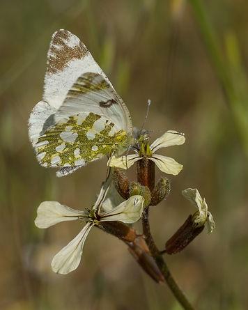 Euchloe-crameri-western-dappled-white | PTKbutterflies