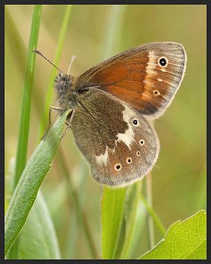 Coenonympha-tullia-large-heath | PTKbutterflies
