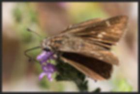 Gegenes-pumilio-pigmy-skipper | PTKbutterflies