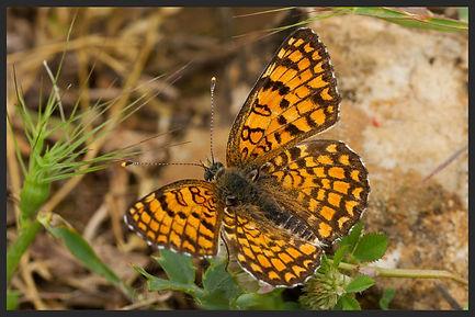 Melitaea-ornata-eastern-knapweed-fritill   PTKbutterflies