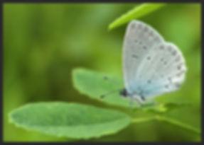 Everes-alcetas-provencal-short-tailed-bl | PTKbutterflies