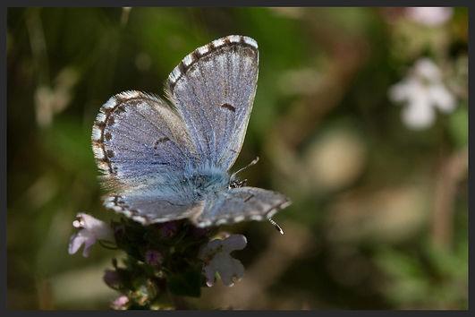 Pseudophilotes-panoptes-panoptes-blue | PTKbutterflies