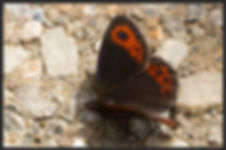 Erebia-montana-marbled-ringlet-butterfly | PTKbutterflies