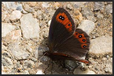 Erebia-montana-marbled-ringlet-butterfly   PTKbutterflies