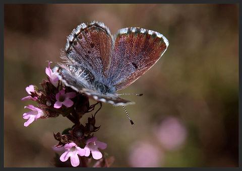 Pseudophilotes-baton-baton-blue | PTKbutterflies