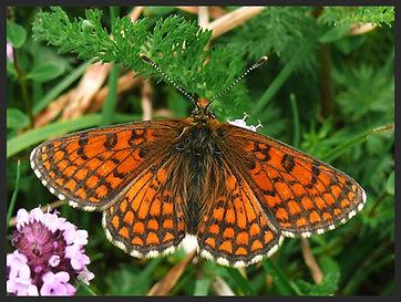 Melitaea-parthenoides-meadow-fritillary- | PTKbutterflies
