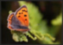 Lycaena-phlaeas-small-copper | PTKbutterflies