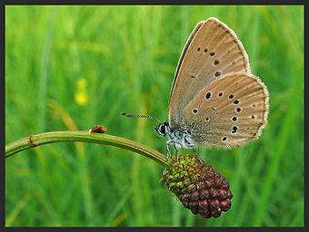 Phengaris-telejus-scarce-large-blue | PTKbutterflies