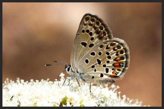 Plebejus-loewii-loews-blue | PTKbutterflies
