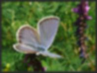 Plebejus-trappi-alpine-zephyr-blue | PTKbutterflies