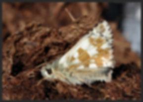 Pyrgus-carlinae--carline-skipper   PTKbutterflies