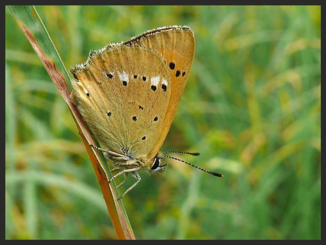 Lycaena-virgaureae-scarce-copper | PTKbutterflies