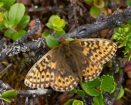 Boloria-polaris-Polar-Fritillary | PTKbutterflies