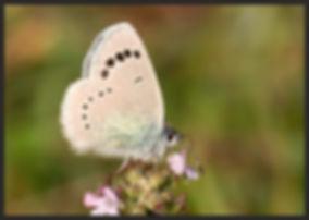 Glaucopsyche-alexis-green-underside-blue | PTKbutterflies