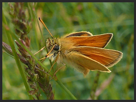 Thymelicus-lineola-essex-skipper | PTKbutterflies