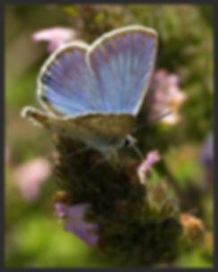 Plebejus-loewii-loews-blue   PTKbutterflies