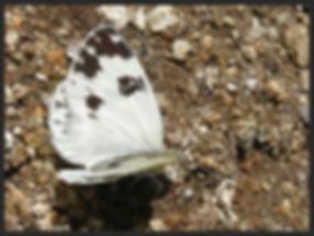 Pontia-daplidice-bath-white | PTKbutterflies