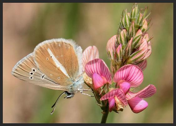 Polyommatus-damon-damon-blue | PTKbutterflies