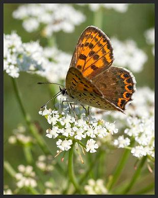 Lycaena-tityrus-sooty-copper | PTKbutterflies
