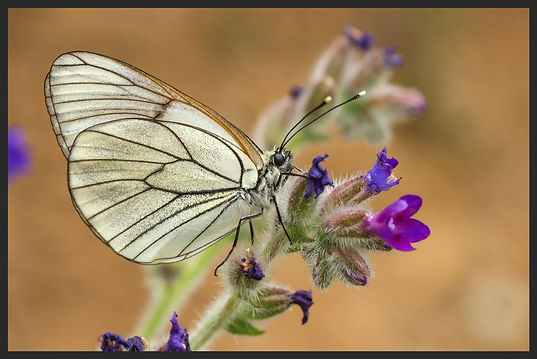 Aporia-crategi-black-veined-white | PTKbutterflies