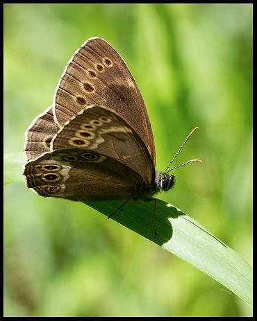Lopinga-achine-woodland-brown-butterfly- | PTKbutterflies
