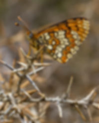 Melitaea-deione-provencal-fritillary | PTKbutterflies