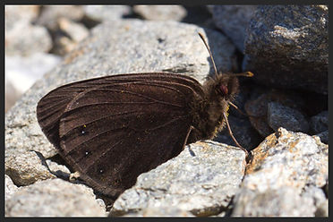 Erebia-pluto-sooty-ringlet-butterfly | PTKbutterflies