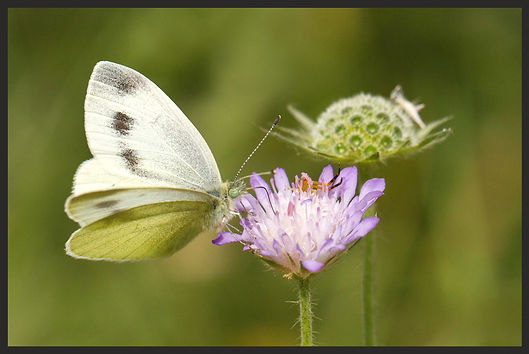 Pieris-ergane-mountain-small-white | PTKbutterflies