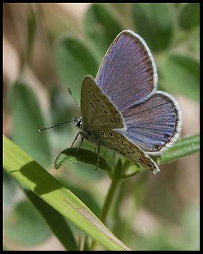 Plebejus-trappi-alpine-zephyr-blue   PTKbutterflies