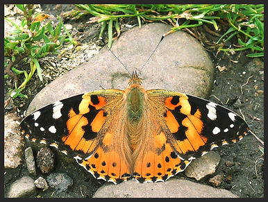 Vanessa-cardui-painted-lady- | PTKbutterflies