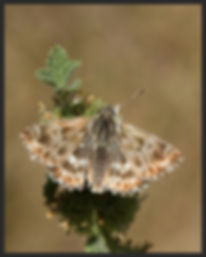Carcharodus-lavatherae-marbled-skipper | PTKbutterflies