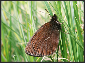 Erebia-mnestra-mnestras-ringlet | PTKbutterflies