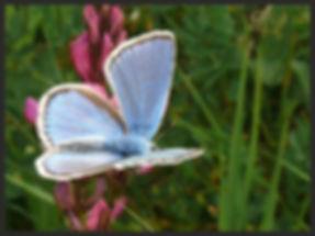 Polyommatus-dorylas-turquoise-blue | PTKbutterflies