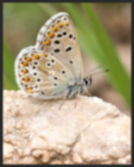 Ultraaricia-anteros-blue-argus | PTKbutterflies