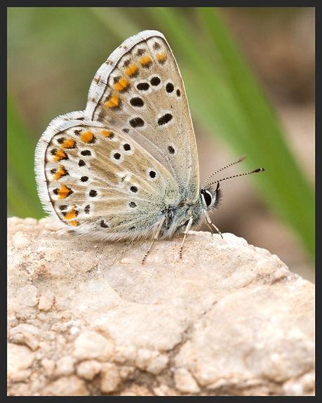 Ultraaricia-anteros-blue-argus   PTKbutterflies