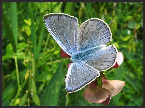Iolana-iolas-iolas-blue | PTKbutterflies
