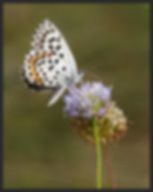 Scolitantides-orion-chequered-blue | PTKbutterflies