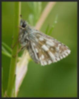 Pyrgus-serratulae---olive-skipper   PTKbutterflies