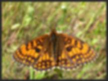 Melitaea-athalia-heath-fritillary | PTKbutterflies
