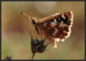 Spialia-sertorius-red-underwing-skipper | PTKbutterflies