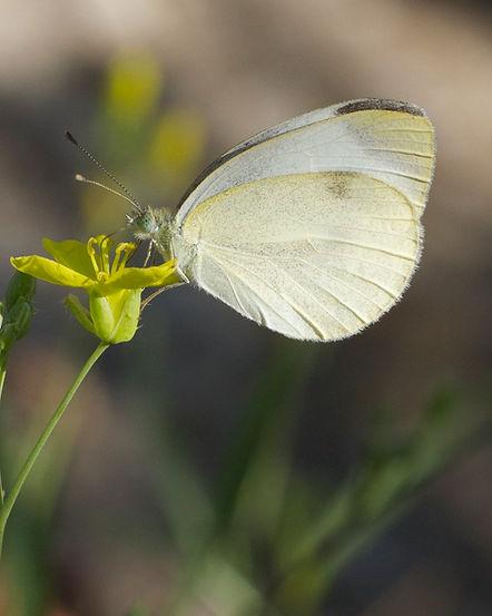 Pieris-mannii-Southern-Small-White | PTKbutterflies