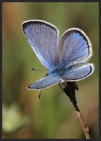 Glaucopsyche-melanops-black-eyed-blue | PTKbutterflies