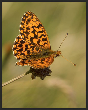 Boloria-dia-weavers-or-violet-fritillary   PTKbutterflies