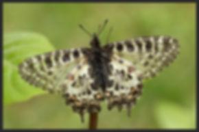 Zerynthia-cerisy-eastern-festoon   PTKbutterflies