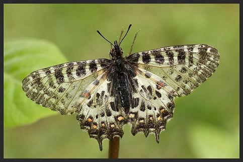 Zerynthia-cerisy-eastern-festoon | PTKbutterflies